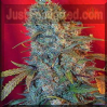 Female Cinderella 99 Female 10 Marijuana Seeds